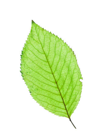 Fresh green leaf isolated on white background Stock Photo - 6444545