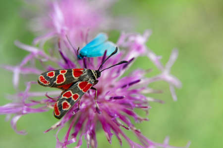 zygaena: Butterfly on a flower (zygaena, carniolica)