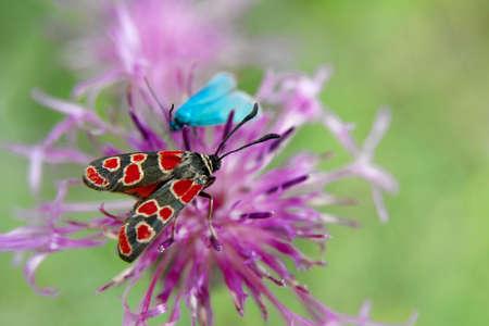 zygaena: Butterfly on a flower (zygaena, carniolica)