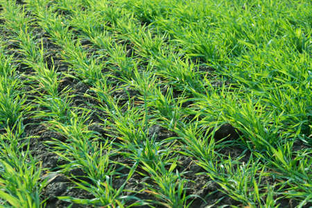 Small green plants on an agricultural filed photo