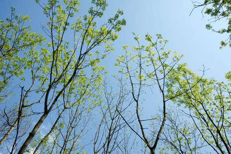 emerge: Fresh green leaves emerge in spring
