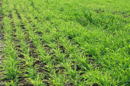 Green field with rows of fresh plants photo