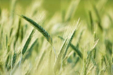 cultivo de trigo: Plantas de trigo verde que crecen sobre un fondo de campo, brillante