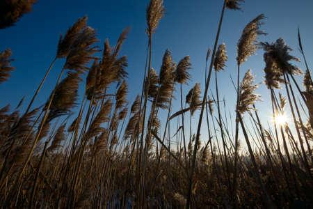 canne: Reed illuminati dal retro da sole al tramonto