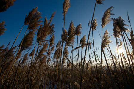 setting sun: Reed lit from the back by the setting sun Stock Photo
