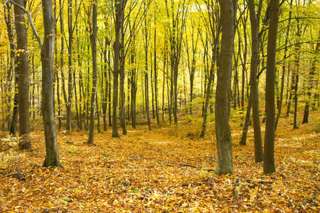 Forest in autumn, golden leaves Stock Photo - 7723406