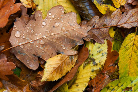 pile of leaves: Raindrops on fallen autumn leaves