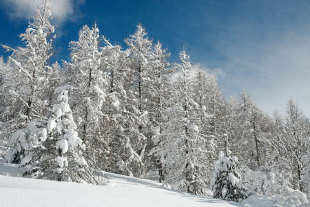 frostbitten: Winter forest with snowy trees Stock Photo