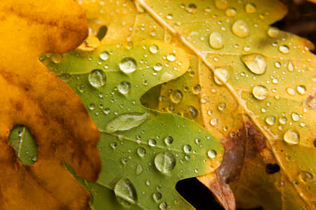 Raindrops on fallen autumn leaves