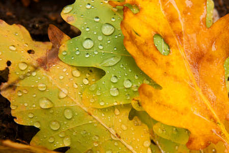 pile of leaves: Fallen autumn leaves with raindrops
