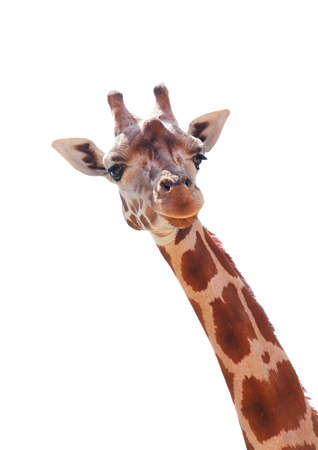 Giraffe portrait isolated on white background
