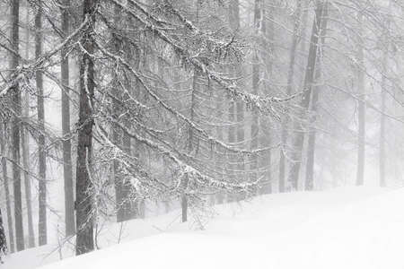 Winter forest in fog photo