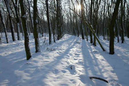 Snowy winter forest with sunshine Stock Photo - 8203741