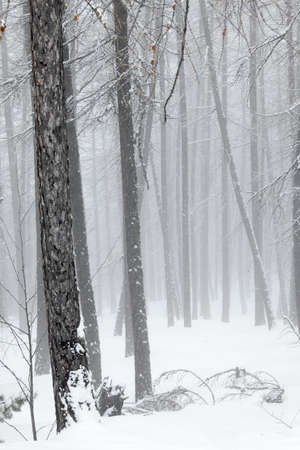 Snowy trees in winter fog photo