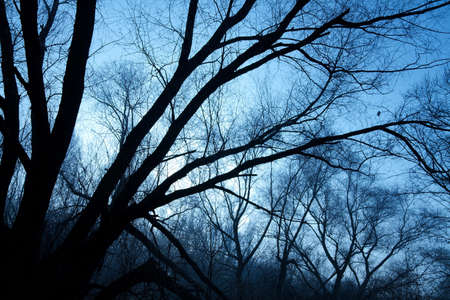 Bare trees of a forest in winter, silhouettes against evening sky photo
