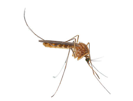 malaria: Mosquito isolated on white background Stock Photo