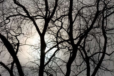birch bark: Bare tree branches in winter