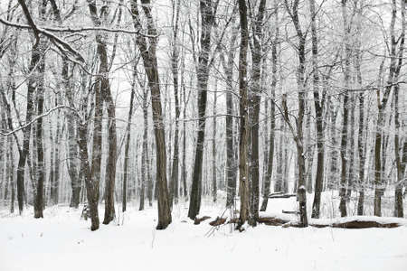 Snowy forest in winter Stock Photo - 11534686