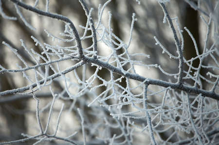 Frosty tree branches in winter photo
