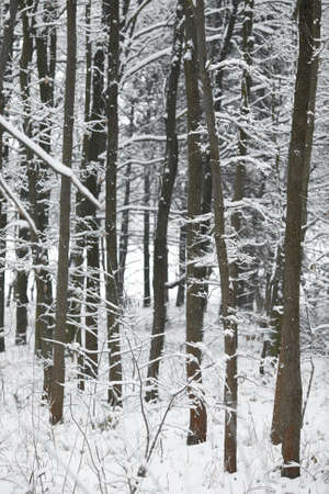 Winter forest with snowy trees photo