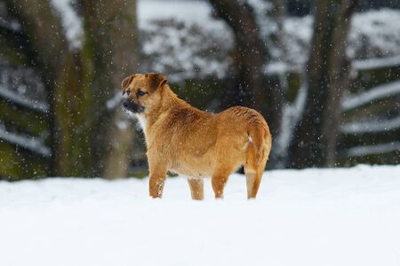 stray dog: Stray dog in the falling snow