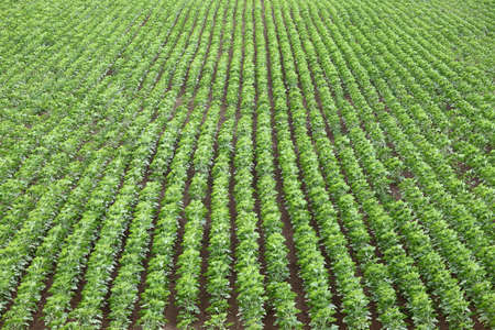 Agricultural field with rows of plants photo