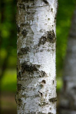 birch tree: Tree trunk closeup Stock Photo