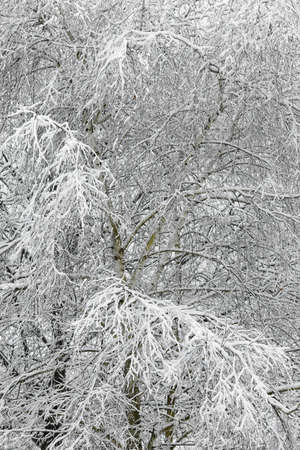 Snowy branches of a large tree Stock Photo - 15904039