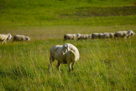 Sheep grazing on an alpine field photo