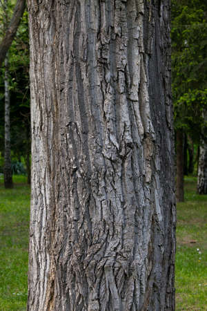 Thick tree trunk closeup