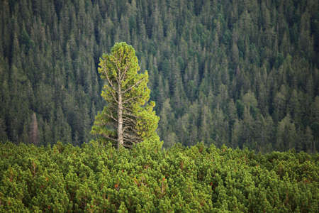 tall tree: Tall pine tree rising above others