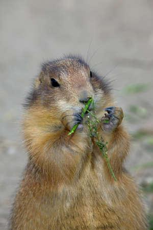 Cute prairie dog eating grass photo