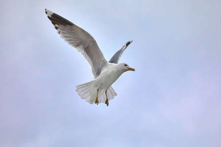Seagulls in air Stock Photo - 87786669