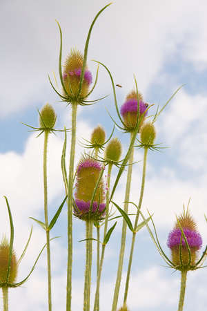 Wild plant, teasel