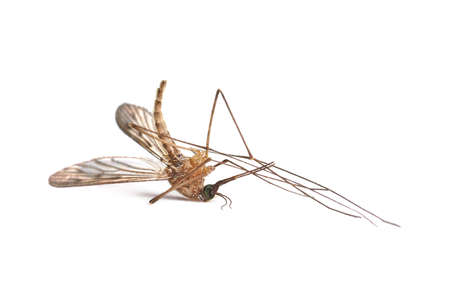 Mosquito dead on white surface