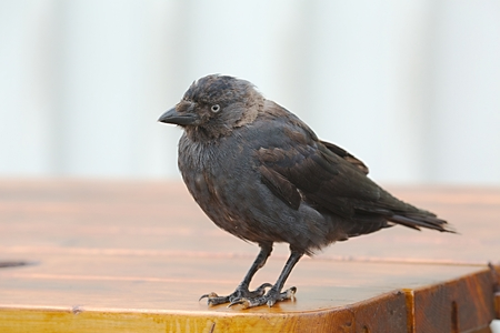 Crow standing on a table in a town