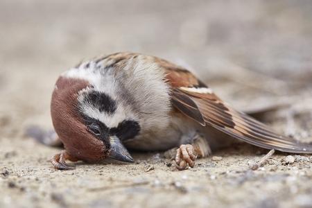 Dead sparrow on the ground