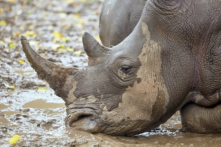 Rhinoceros in the mud