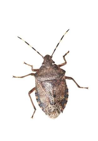 Stink bug closeup