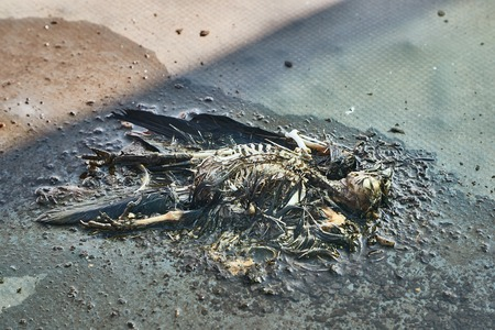 Dead bird body decomposing Imagens