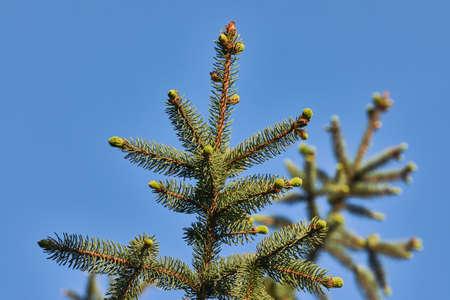 Pine Tree Closeup Reklamní fotografie