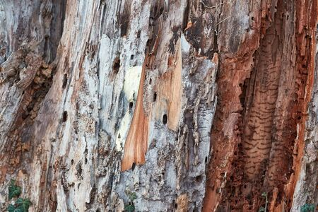 Bark texture of a tree trunk being destroyed by insects