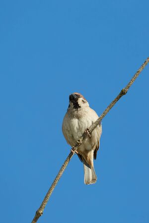 Sparrow on a branch, blue sky Фото со стока