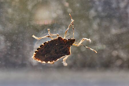 Stink bug on a window glass surface in sunlight 写真素材