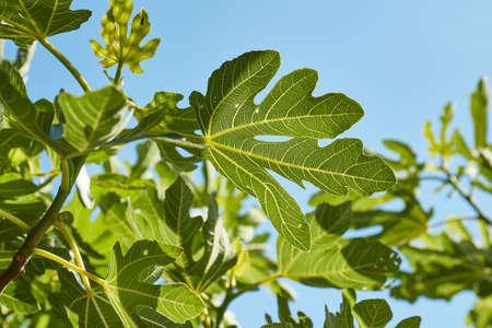 Green Leaves of a fig tree in summer Zdjęcie Seryjne