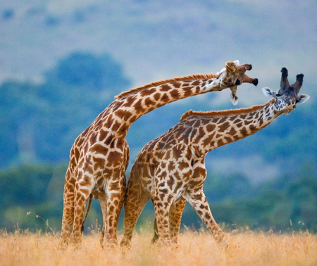 Two giraffe dance with each other. Kenya. Masai Mara.