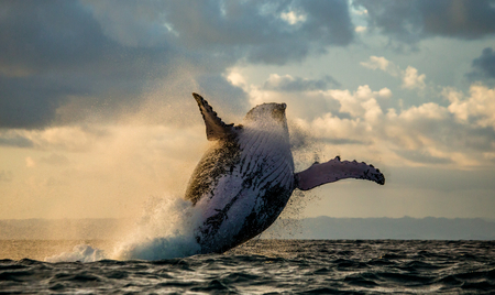 indian ocean: Jump humpback whale. The water area of the island of St. Mary.