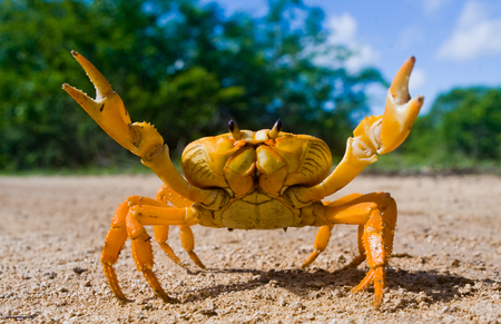 funny animals: Land crab yellow in Cuba. Stock Photo