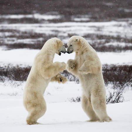 animal behavior: Two polar bears playing with each other.