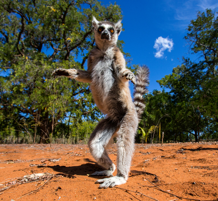 Ring-tailed lemur in Madagascar 스톡 콘텐츠